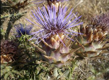 Cynara cardunculus. Copyright Leslie Vella [maltaflowers], Flickr